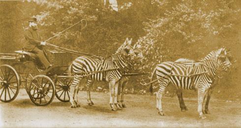 Kutsche mit Zebras