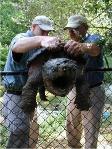 Alligatorschildkröte — Pondboss