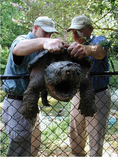 Geierschildkröte von 2 Männern gehalten