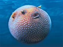 kuglfisch